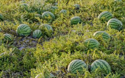 Sandía y melón: las frutas tendencia de este verano