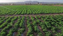 Tomate plantación Sol de Levante Frutas y Verduras